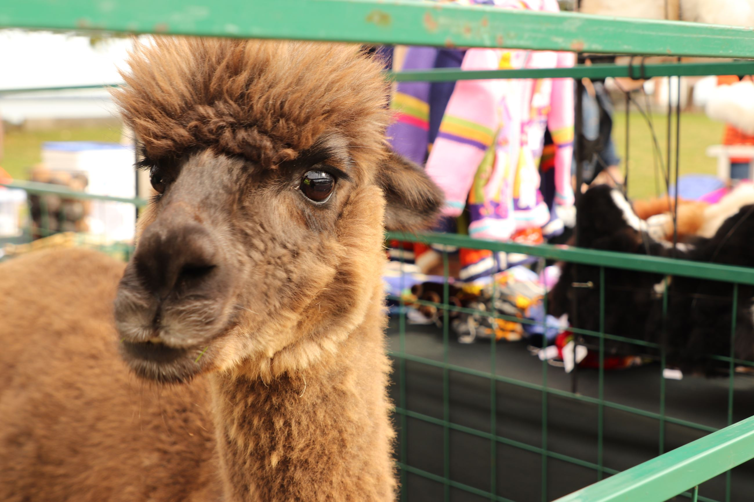 Alpaca Holiday Open House